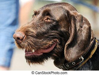 German Wirehaired Pointer dog portrait - German Wire-haired...