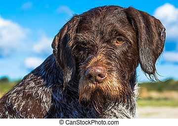 German Wirehaired Pointer. Hunting dog on sunny day