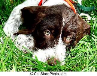 German Wirehaired Pointer Laying down