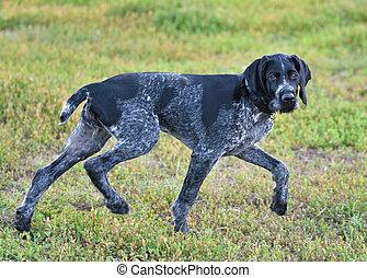 German wirehaired pointer or Drahthaar (Deutsch Drahthaar, Deutscher Drahthaariger Vorstehhund) on the walk