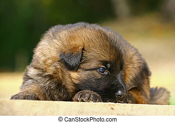 germany., allemand, deutscher, originated, aussi, alsatian), nouveau, bergers, berger, (german:, large-sized, race, connu, chien, (gsd, chien, schaferhund), relativement