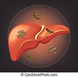 germes, bactérias, fígado