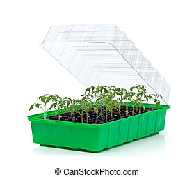 germinação, bandeja, com, pequeno, tomate, seedlings