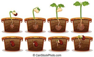germinação, semente, claypot