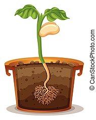 germinação, semente, pote, argila