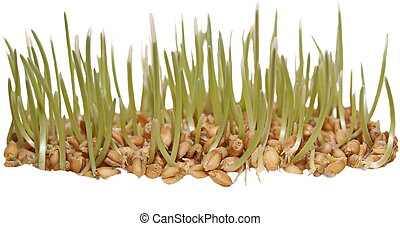 germinación, trigo, aislado