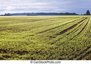 germinación, wheat.