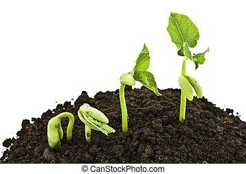 germinando, fagiolo, semi, colpo