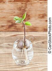 germinar, aguacate, parte, -, 4