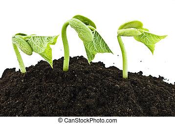 germinar, feijão, sementes, tiro