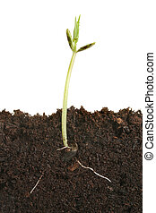 germinar, semente
