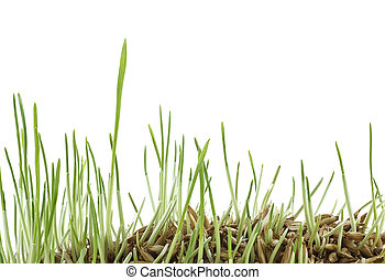Germinated cereal on isolated white background. Sprouted oats on white background.