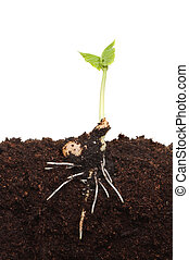 germinated, kiemplant