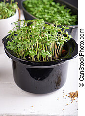 Germinated micro greens in pots on a stem background Close up