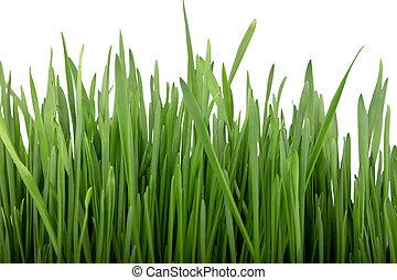 germinated, sementes, de, aveia, verde, grass.