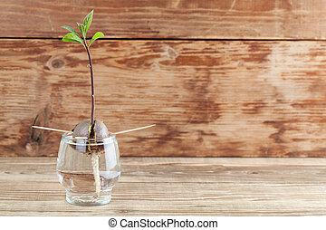 Germinating avocado - part 4 - Avocado seed with root and ...