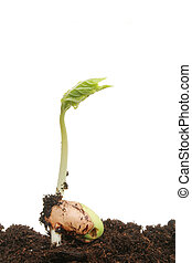 Germinating bean seed in soil against a white background