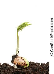 Germinating bean seed