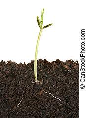 Germinating seed - Germinating climbing bean seed showing...