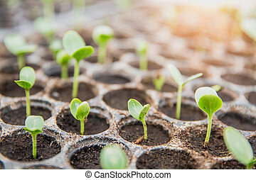 germinating seed to sprout of nut in agriculture and plant grow with sunlight