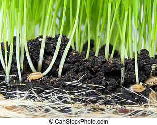 Closeup view of wheat germination in the soil.