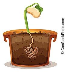 germination, graine, pot, argile