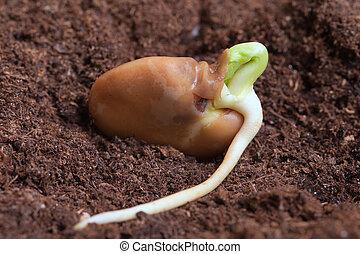 Germination of bean.