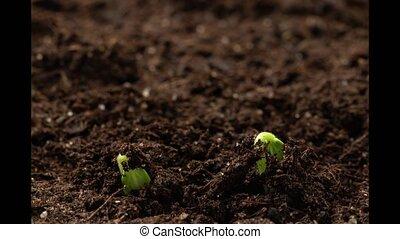 germination, seedlings., nouvelle vie, naissance, concombre...