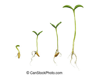 Germination Sequence Of Cantaloupe