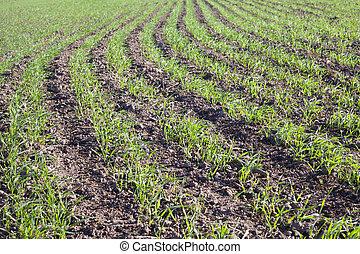 germination, wheat.