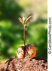 germination, zaad