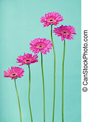 Germini flowers arranged differently on a blue background