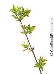 germogli, lilla, primavera, albero, isolato, ramo, bianco