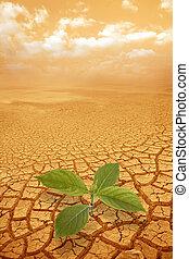 germoglio, ramoscello, in, droughty, suolo