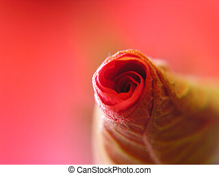 germoglio rosa