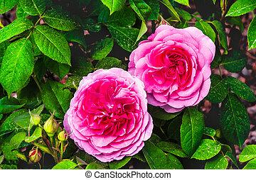 gertrude, cor-de-rosa, roxo, rosas, fundo, jeckyll, flores