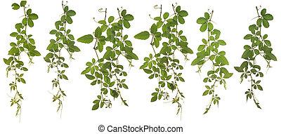 gesammelt, japonica, hintergrund, freigestellt, cayratia, ...