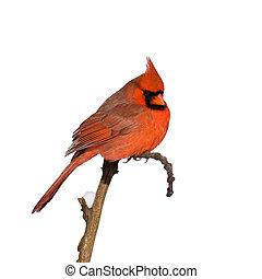 gesetzt, kardinal, zweig