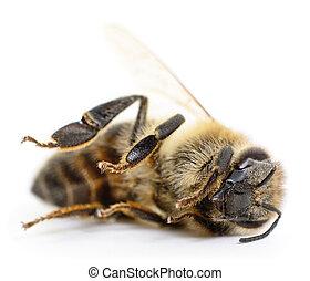 gestreepte , bee.