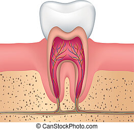 gesunde, koerperbau, weißer zahn