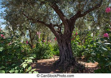 gethsemane, 庭, エルサレム, オリーブ, 木