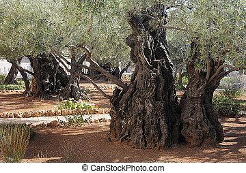 Gethsemane - Old olive trees in the Garden of Gethsemane in...