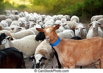 getter, och, sheep, flock, flock, utomhus, spåra, natur