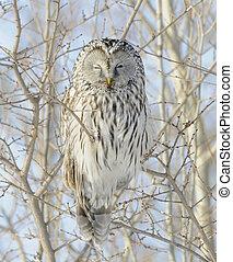 Ural Owl - Getting the Evil Eye from Ural Owl