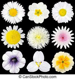 gevarieerd, verzameling, van, witte bloemen, vrijstaand, op, black