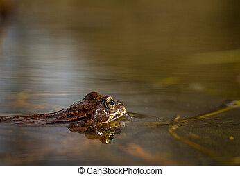 gewöhnlicher frosch, rana, temporaria, in, a, gartenteiche, in, norway., ansicht, von, der, seite, reflexion, von, frosch, in, water., april, fruehjahr