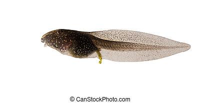 gewöhnlicher frosch, rana, temporaria, kaulquappe, freigestellt, weiß, hintergrund