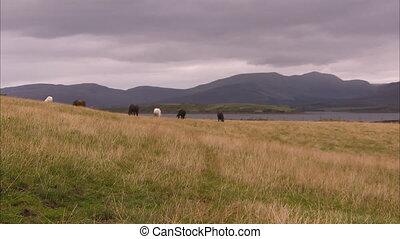 gewachsen, pferden, in, irland
