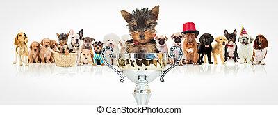 gewinnen, yorkshireterrier, vor, hunden, satz