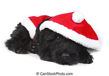 gewissen, black , kostuum santa, russische , puppy, terrier...